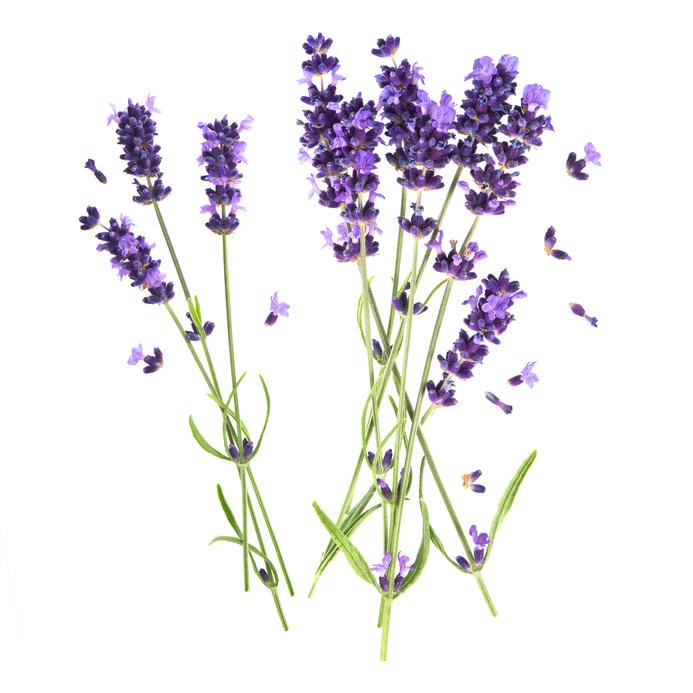 Steckbrief Lavendel