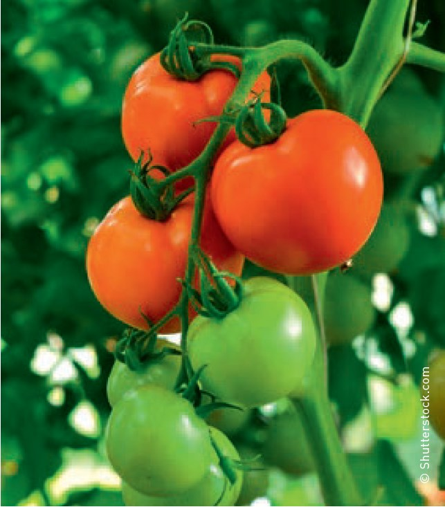 """Tomaten aus dem eigenen Garten – gesund und schmackhaft Tipps von Ihrem """"Eist Uebst"""""""
