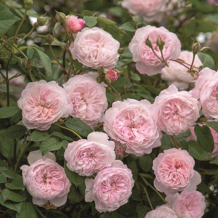 Rambler-Rosen - Blühende Wanderer, die es zur Sonne treibt