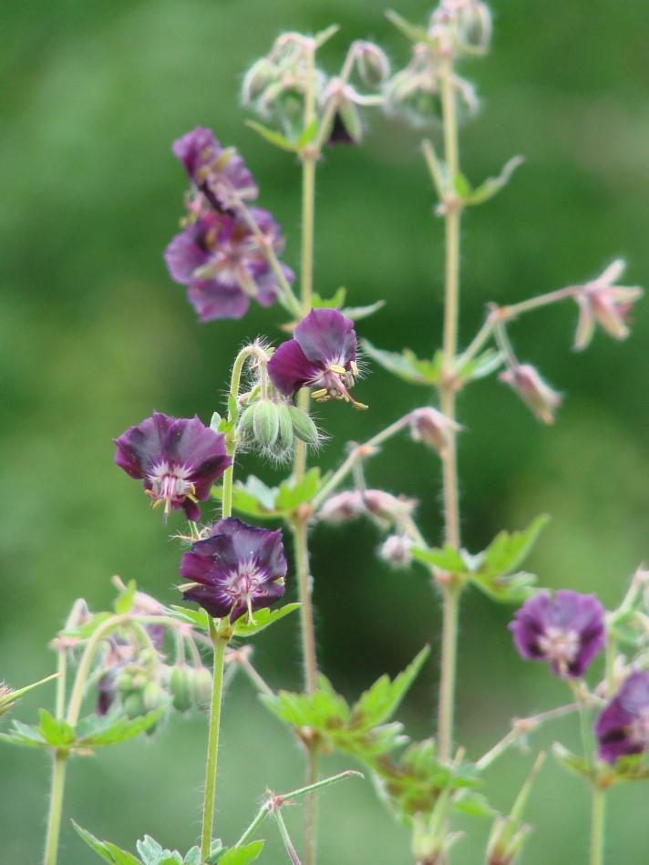 Der Braune Storchschnabel – Geranium phaeum 'Samobor'