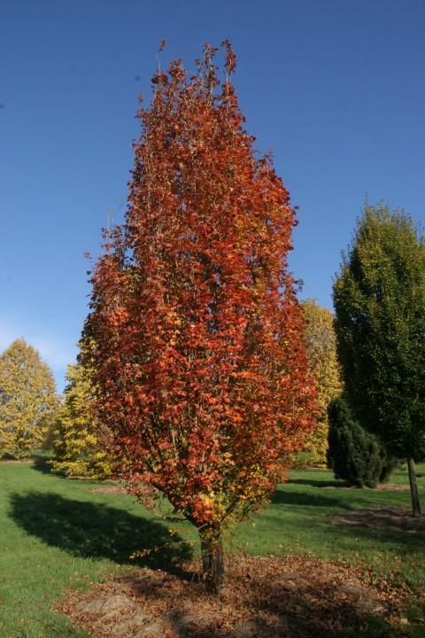 Caldwells Feld-Ahorn – Acer campestre