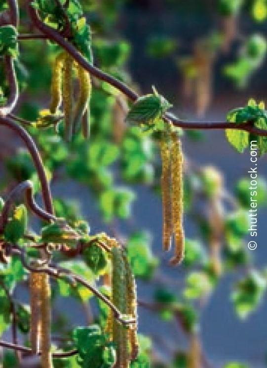 Hänge-Haselnuss oder Trauerhasel - Corylus avellana 'Pendula'