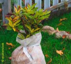 Rhododendron mit gelben Blättern