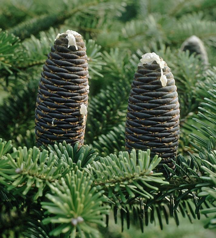 Ist der Weihnachtsbaum eine Tanne?
