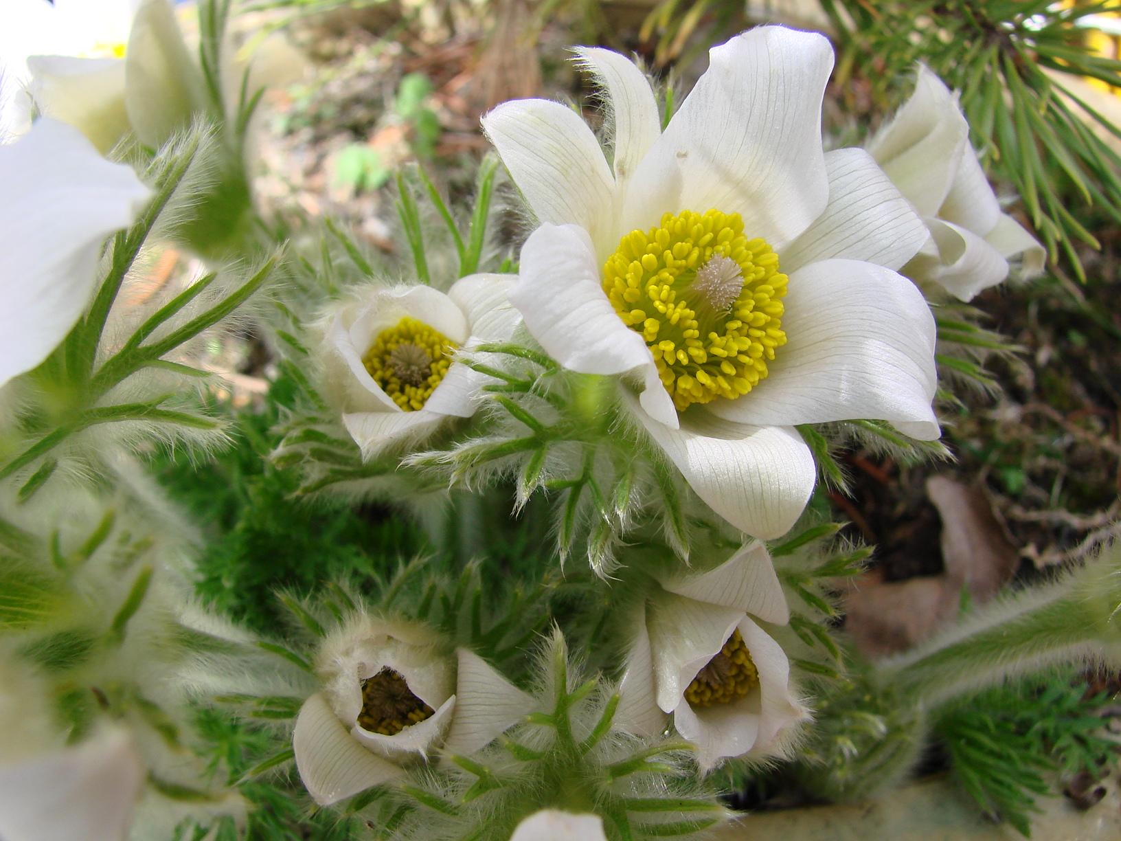 Die weiße Kuhschelle – Pulsatilla vulgaris 'Alba'