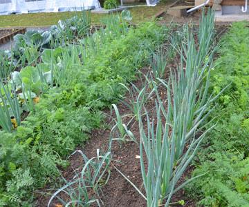 Verwandte Gemüsearten nicht nacheinander anbauen